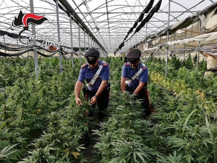 Carabinieri scoprono una coltivazione di canapa, oltre diecimila piante